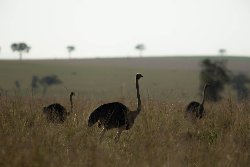 Ostrich in Narus valley